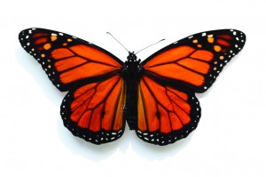 Learning to Save the Monarch - Monarch Butterfly